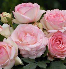 Eden Rose op stam 100-120 cm (kale wortel)