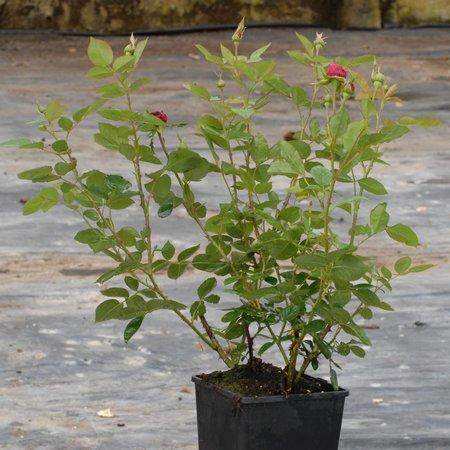 Falstaff  (in pot 4 liter)