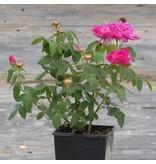 gallica (in pot 4 liter)