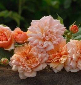 Grace op stam 100-120 cm (kale wortel)