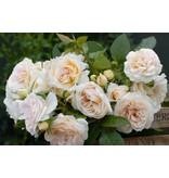 Lions Rose op stam in pot 100-120 cm.
