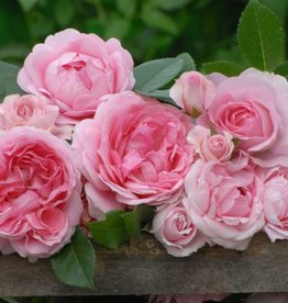 Rosenfee op stam in pot 90-100 cm.