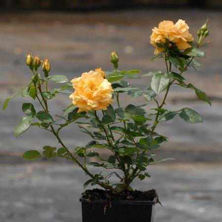 Bernstein Rose (in pot 4 liter)