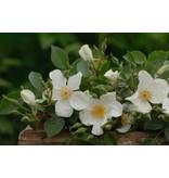 Clematis Rose (in pot 4 liter)