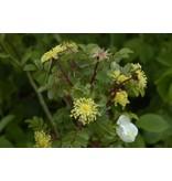 pimpinellifolia (in pot