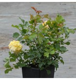 Sterntaler (in pot 4 liter)