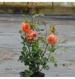 Summer Song  op stam 110 cm (kale wortel)