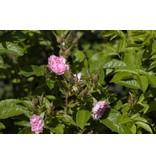 Pink Grootendorst (in pot 4 liter)