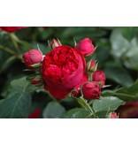 Red Eden Rose (in pot 4 liter)