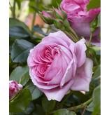 Rosenfee (in pot 4 liter)