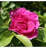 Roseraie de L'Haÿ (in 4 liter pot)