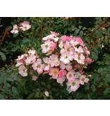 Rosy Cushion (in pot 4 liter)