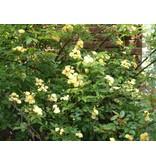 banksiae lutea (in pot 4 liter)