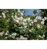 Paul's Himalayan Musk Rambler (in pot 4 liter)