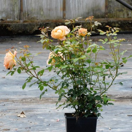 Lady of Shalot  (In pot 4 liter)