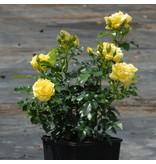 Loredo op stam 60-80 cm (kale wortel)