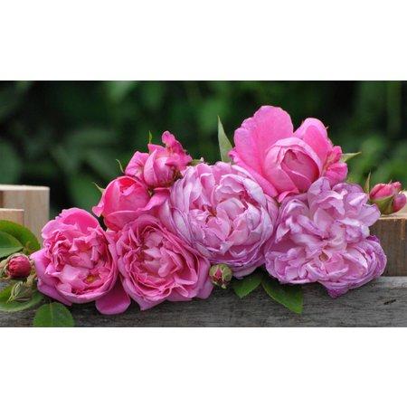Mary Rose (kale wortel)