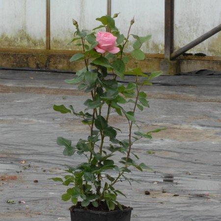 Queen Elizabeth (in pot 4 liter)