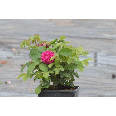 Rose de Rescht (in pot 4 liter)