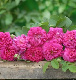 Rose de Rescht (Kale wortel)