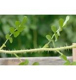 rugosa (Kale wortel)