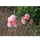 Gerbe Rose (in pot 4 liter)