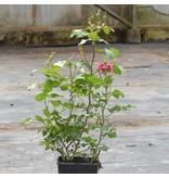 Ines Sastre (in pot 4 liter)