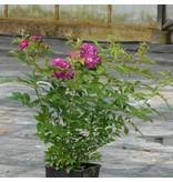 Perennial Blue (In pot 4 liter)