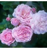Pink Prosperity (in pot 4 liter)