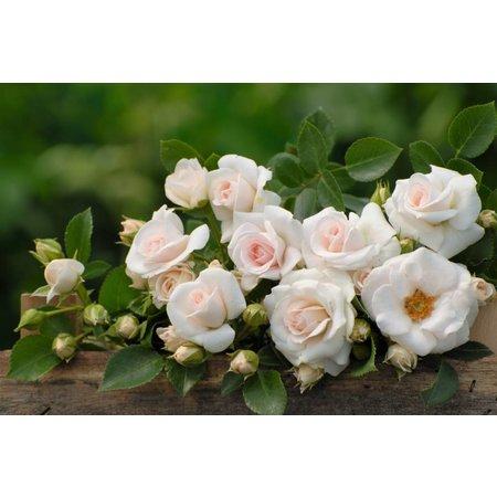Aspirin Rose op stam 60 cm (kale wortel)