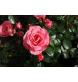 Bella Rosa op stam 110 cm.  (kale wortel)