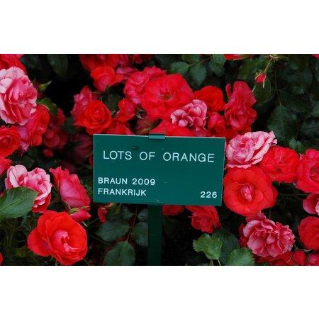 Lots of Orange ( in pot 4 liter)