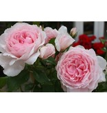 The Wedgewood Rose ( in pot 4 liter)