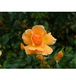 Amber Sun (in pot 4 liter)
