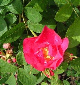 The Portland Rose (in pot 4 liter)