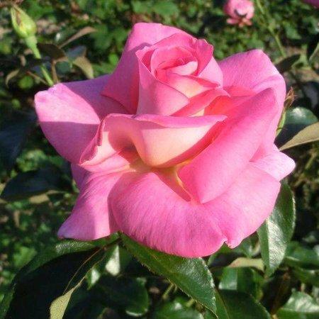 Clg. Parfume Royal (in pot 4 liter)