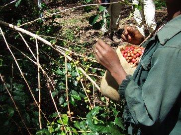 Äthiopien Kaffeeernte