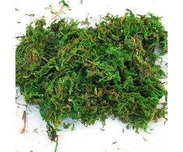 Dried Reindeer Moss
