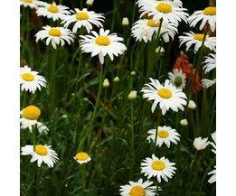 Pflanzensamen Für Gänseblümchen 30 Stück