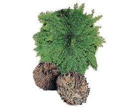 Bonsai Pflanze