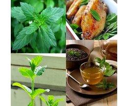 50 Samen Für Pfefferminz Pflanzen