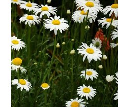Plant Seeds For Daisies 30 Pieces
