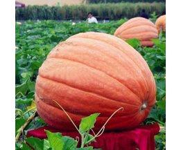 Pumpkin Seeds Per 5 Pieces