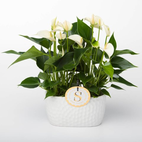 Anthurium Wit in schaal venis small