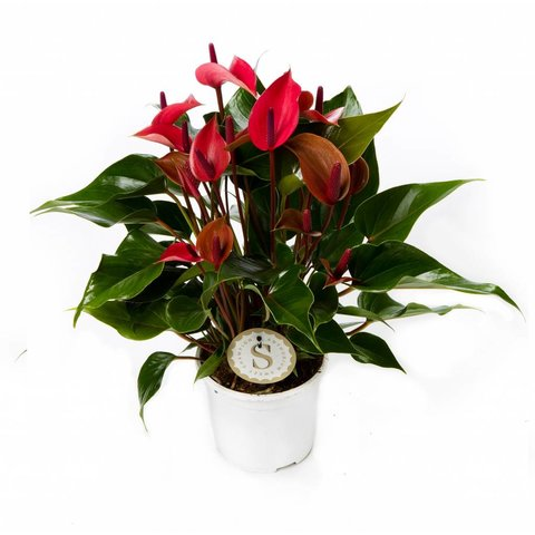 Anthurium Donker roze medium
