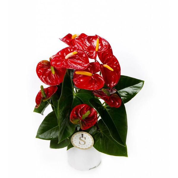 Anthurium Rood medium