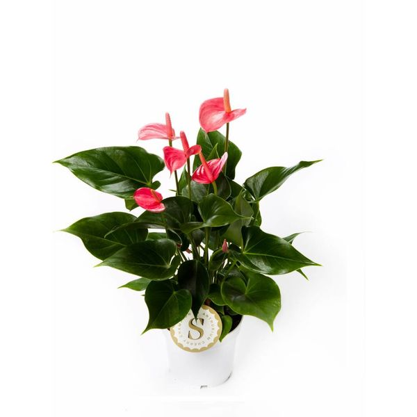 Anthurium roze small