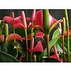 Anthurium roze large