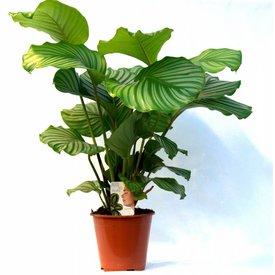 Fleur.nl - Calathea plant live