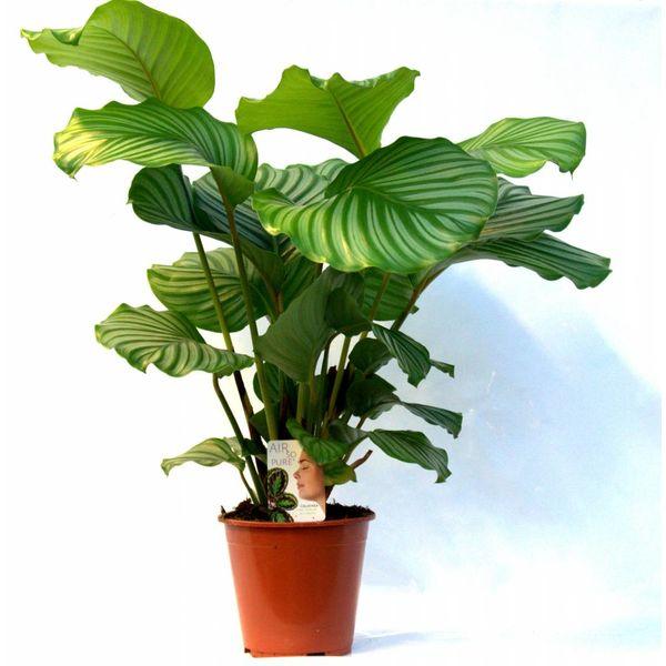 Calathea plant live
